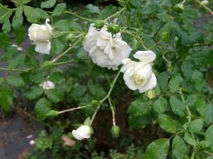 Trandafirii cei albi:
