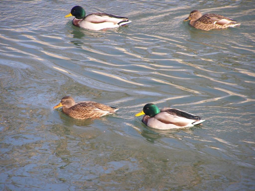 Un grup de patru, care chiar s-au ţinut multă vreme după mine, dar ferindu-se, pe cât puteau, de pescăruşii cei hapsâni